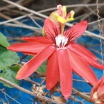 But the divine passiflora, Australian native passion fruit, does not like the cold